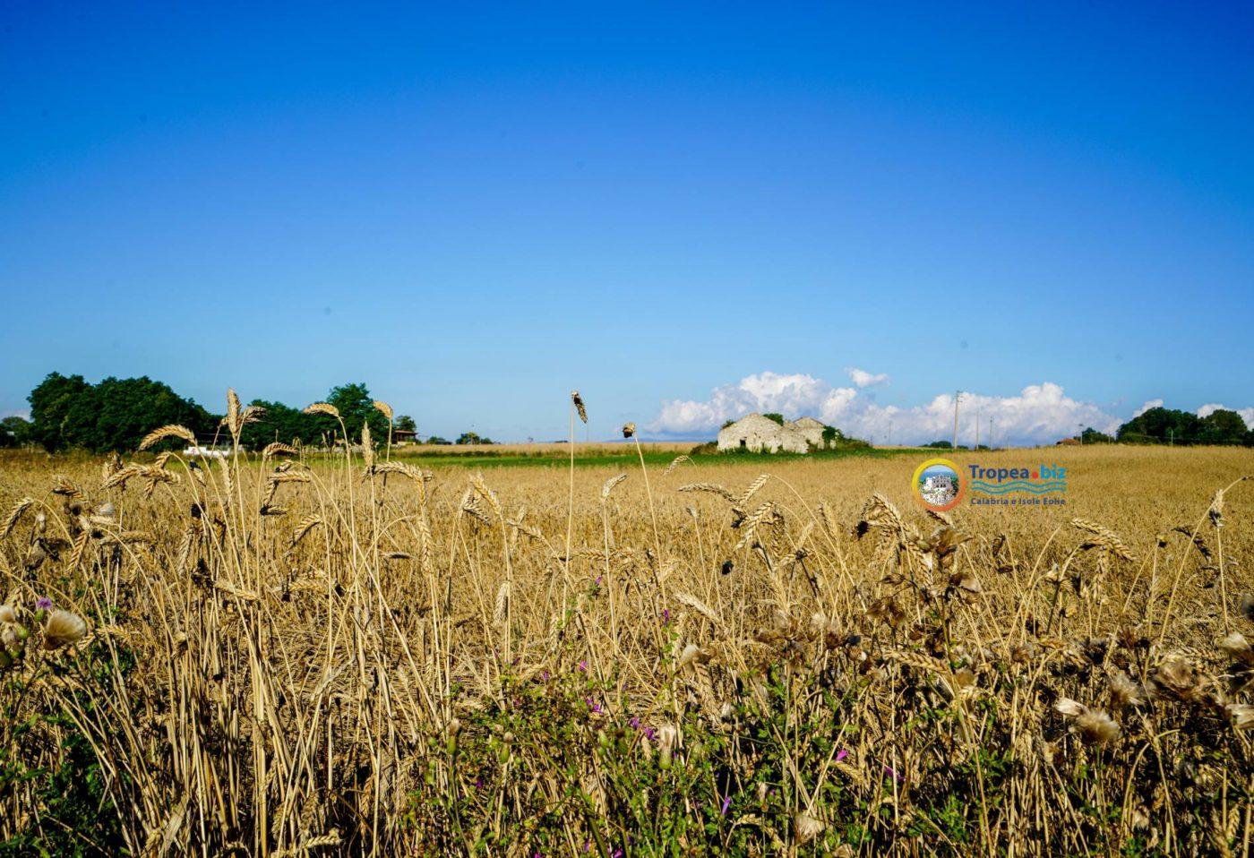 Campo di grano - Altopiano Poro